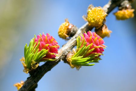 Blossoming branch of a larch close-up photo