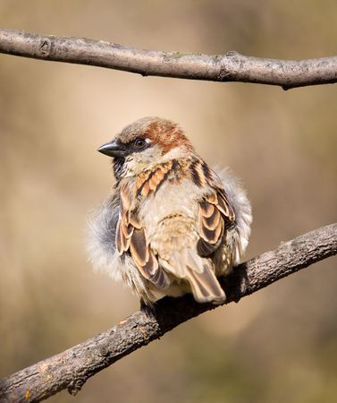 steadfast: Fluffy sparrow with a steadfast glance Stock Photo