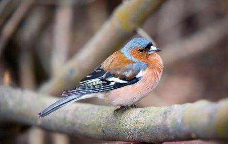 Chaffinch on a branch of a tree close up photo