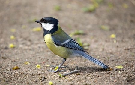warblers: Titmouse close up on the ground in spring Stock Photo