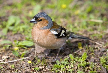warblers: Chaffinch in a grass close up Stock Photo