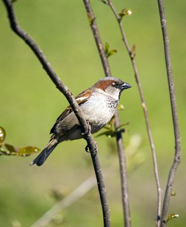 waiting glance: Sparrow on a green spring background