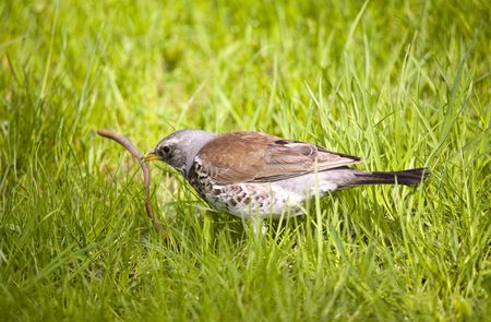 warblers: Fieldfare in a sunny day with prey Stock Photo