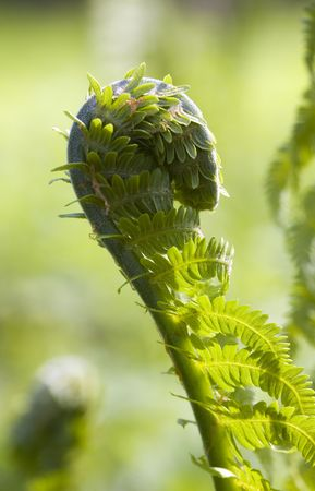 einrollen: Green Farn enger in den Fr�hling