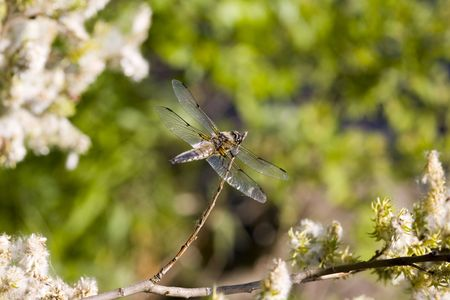 compound eyes: Dragonfly on a summer background in forest Stock Photo