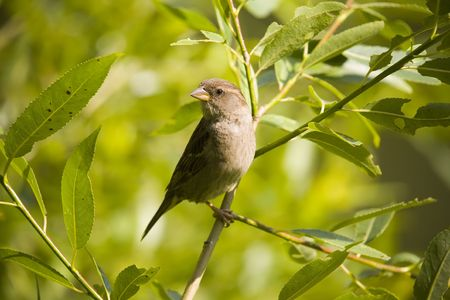 Sparrow on a summer background in sunny day Stock Photo