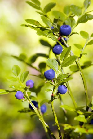 Bush of a bilberry in a wood in a sunny day Stock Photo