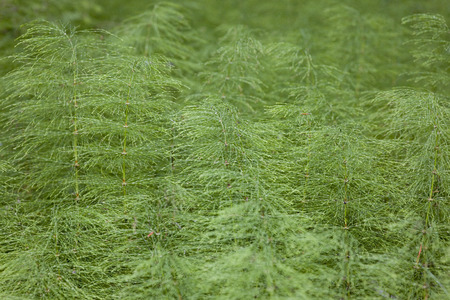 carpet of green horsetail, close-up Stock Photo - 1398737