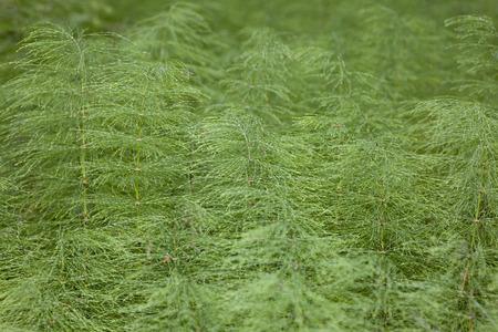 carpet of green horsetail, close-up Stock Photo - 1398737