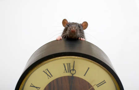 pretty black domestic rat peeping out from the clock