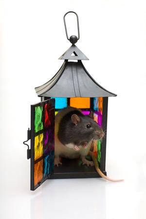 ratty: Rat in una lanterna su uno sfondo bianco Archivio Fotografico