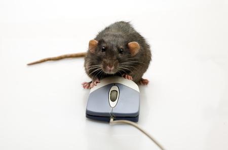ratty: Rat e mouse su uno sfondo bianco