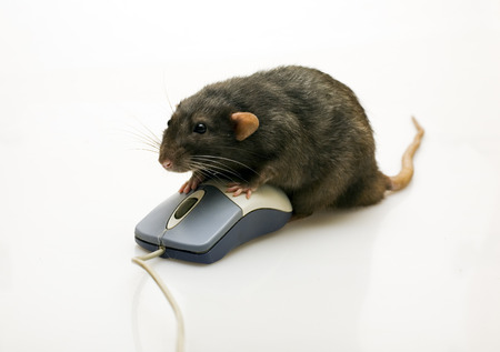 Black rat and a mouse on white background photo