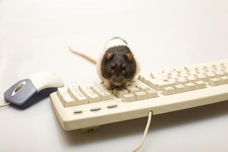 ratty: Ratto nero con il mouse e la tastiera Archivio Fotografico