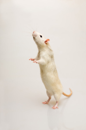 White rat on a white background standing at attention Stock Photo