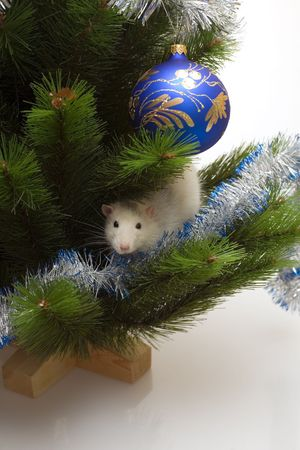domestic white rat among the new year trees boughs photo