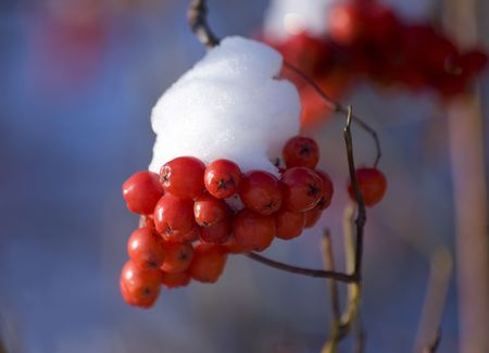 mountain ash: mountain ash after the first snow close up