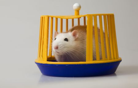 conceal: white domestic rat looking out of a special small cage