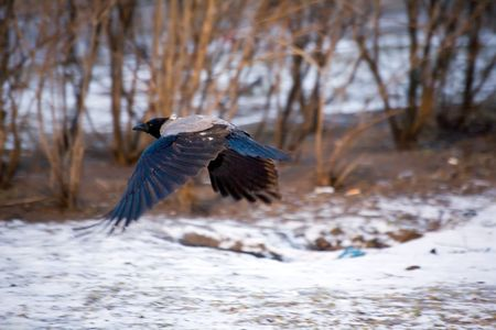 wingspread: huge urban crow flying along winter bushes