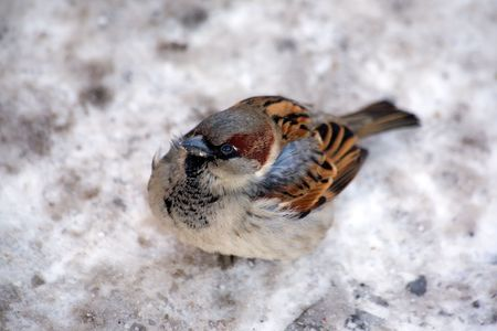 ruffling: City sparrow ruffling up on the snow Stock Photo