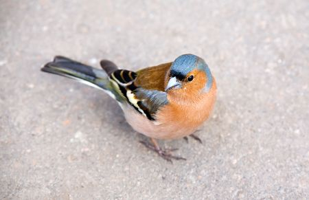 chaffinch: Bright chaffinch on sidewalk close up