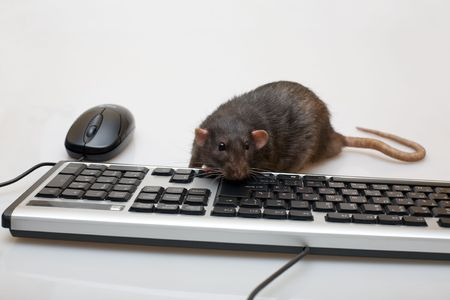 Black rat with a mouse and the keyboard photo