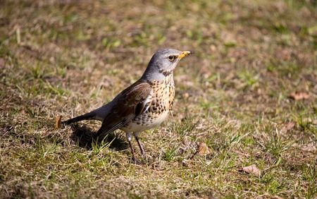 warblers: Turdus pilaris in a sunny day in spring  Stock Photo