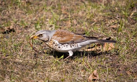 Fieldfare in a sunny day with worm photo