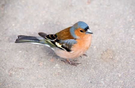 warblers: Bright chaffinch on sidewalk close up