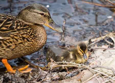 webbed: Duck and its nestling close up in spring