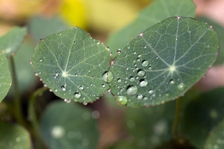 bluster: nasturtium leaves covered with glisterring droplets, close-up Stock Photo