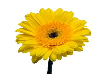 Yellow gerbera close up on a white background Stock Photo - 2173784