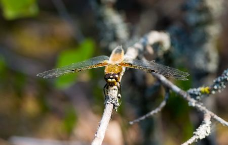 compound eyes: Dragonfly on a branch of a tree in summer