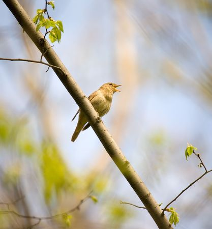 rossignol: Rossignol chantant dans un bois de printemps