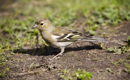 chaffinch female close up in spring grass Stock Photo - 2196800