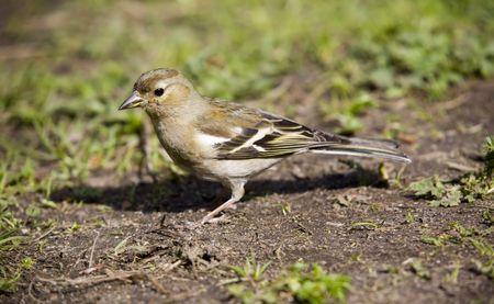 chaffinch: fringuello femmina vicino nella primavera erba