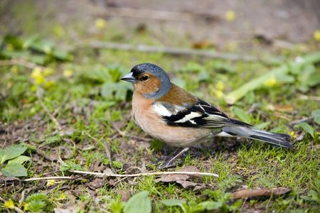 chaffinch male close up in spring grass Stock Photo - 2196801
