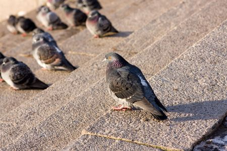 ruffling: city pigeons ruffling up on the granite street stairs