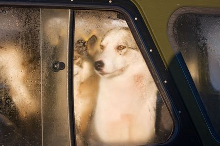 misted: hunting dogs looking through a misted car window
