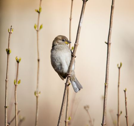 Sparrow on branches of an acacia in the spring