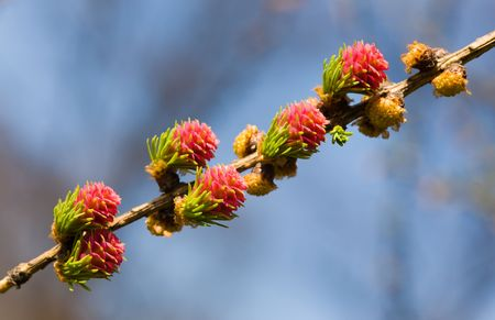 Blossoming branch of a larch on sky background photo