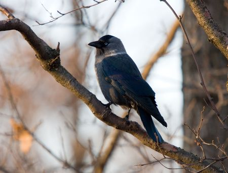jackdaw on a branch of a tree close up photo