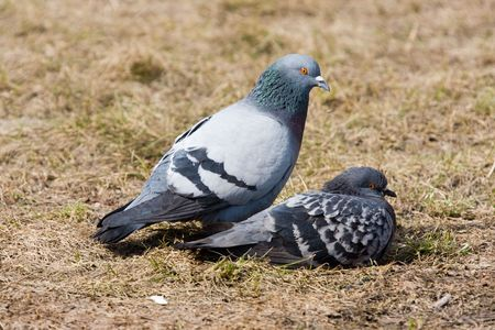 Pair of pigeons in spring day close up Stock Photo - 2800354