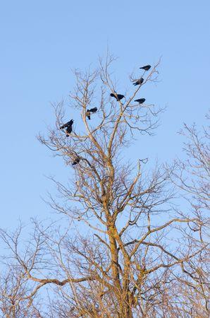 Three kinds of black birds on a tree Stock Photo - 2807564