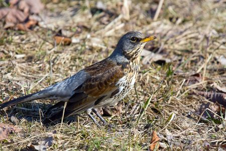 fieldfare (turdus pilaris) close up in spring Stock Photo - 2874890