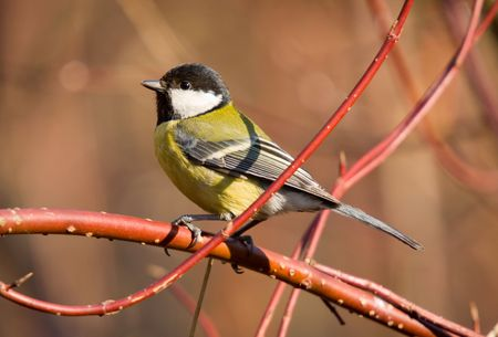 great tit on a branch in sunny day Stock Photo - 2874887