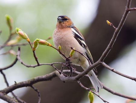chaffinch on a branch of a tree in spring day Stock Photo - 3020490