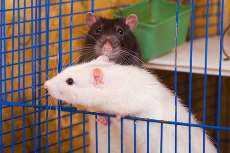 glance: White and black rats in a cage