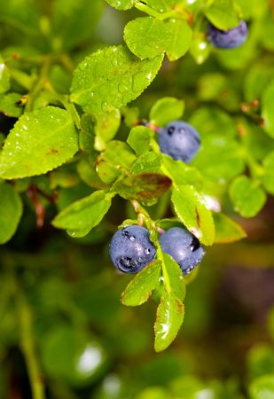 bilberry: Ripe bilberry close up after a rain