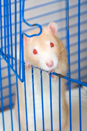 Small red curious rat in a cage photo